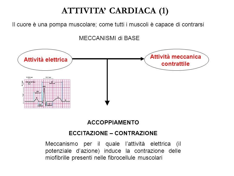 ATTIVITA' CARDIACA (1) Il cuore è una pompa muscolare; come tutti i muscoli è capace di contrarsi MECCANISMI di BASE Attività elettrica Attività meccanica contrattile ACCOPPIAMENTO ECCITAZIONE – CONTRAZIONE Meccanismo per il quale l'attività elettrica (il potenziale d'azione) induce la contrazione delle miofibrille presenti nelle fibrocellule muscolari