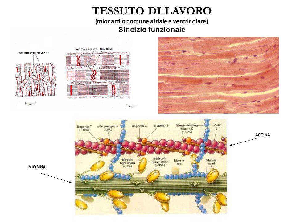 TESSUTO DI LAVORO miocardio comune atriale e ventricolare. - Funzione contrattile (principale) - Trasmissione dell'impulso elettrico da cellula-cellul