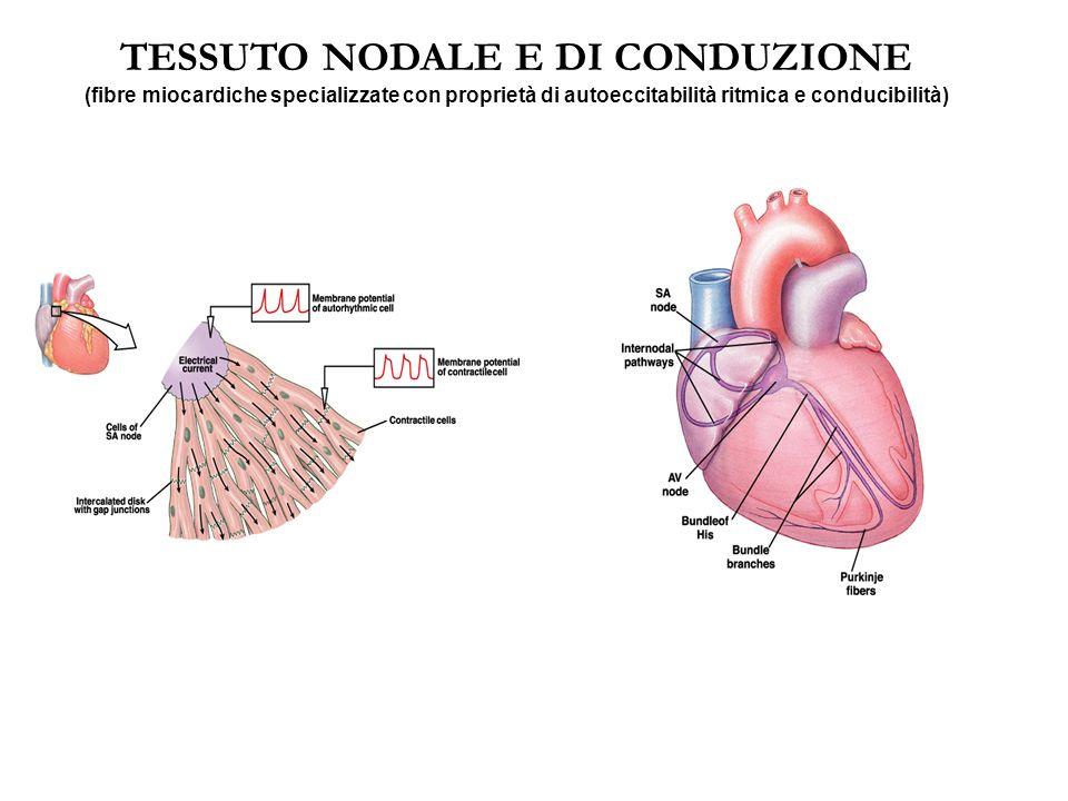 RAPPORTO TEMPORALE TRA POTENZIALE D'AZIONE E RISPOSTA CONRATTILE Il muscolo cardiaco inizia a contrarsi pochi ms dopo l'inizio spike e la contrazione finisce pochi ms dopo la fine dello spike, per una durata di circa 200 ms nel muscolo atriale e 300 ms nel muscolo ventricolare.