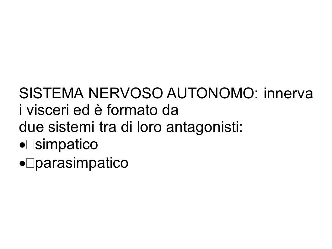 SISTEMA NERVOSO AUTONOMO: innerva i visceri ed è formato da due sistemi tra di loro antagonisti:  simpatico  parasimpatico