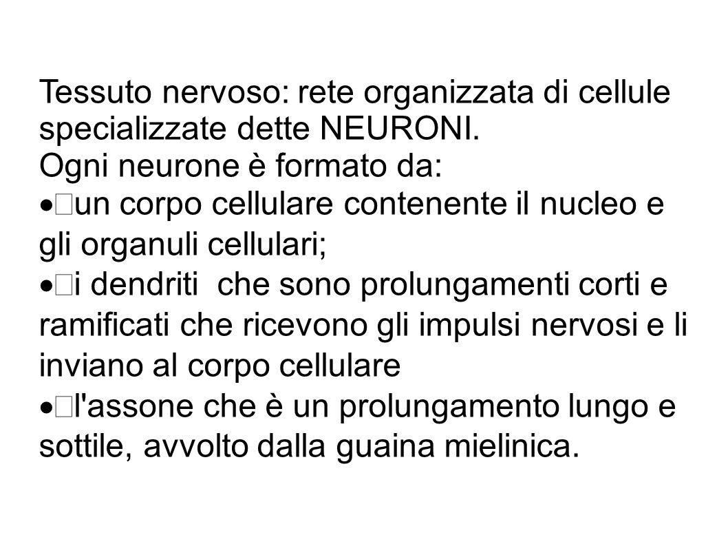 Tessuto nervoso: rete organizzata di cellule specializzate dette NEURONI. Ogni neurone è formato da:  un corpo cellulare contenente il nucleo e gli o