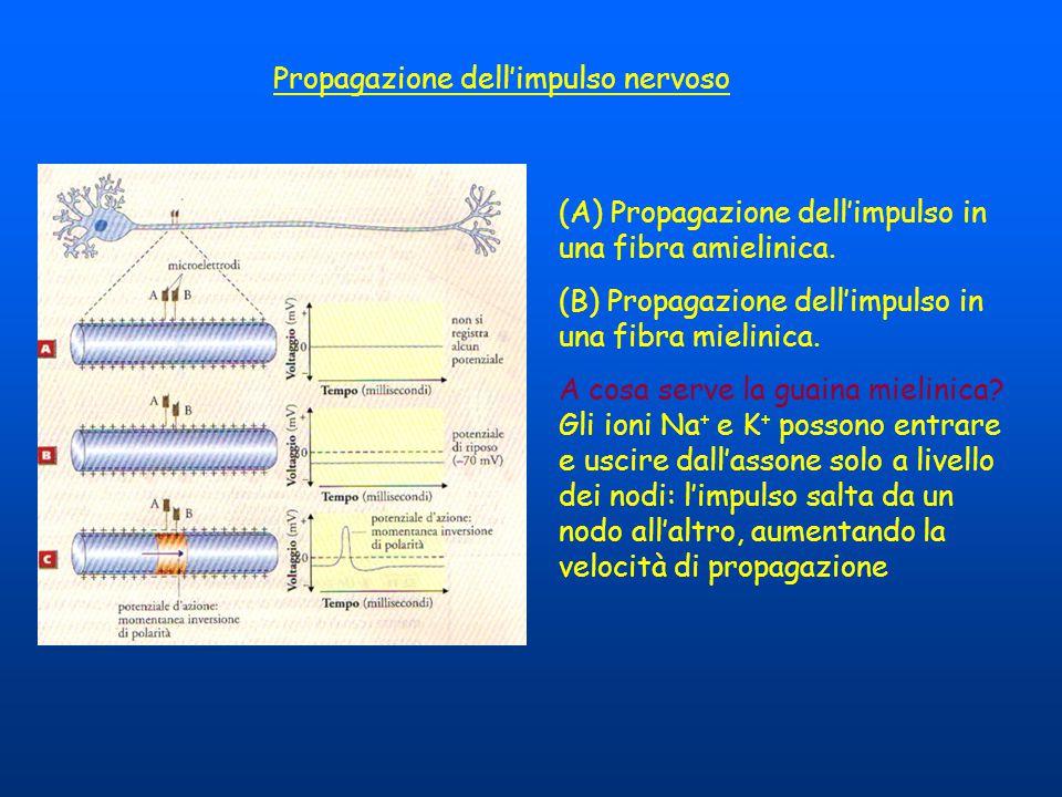 Propagazione dell'impulso nervoso (A) Propagazione dell'impulso in una fibra amielinica. (B) Propagazione dell'impulso in una fibra mielinica. A cosa