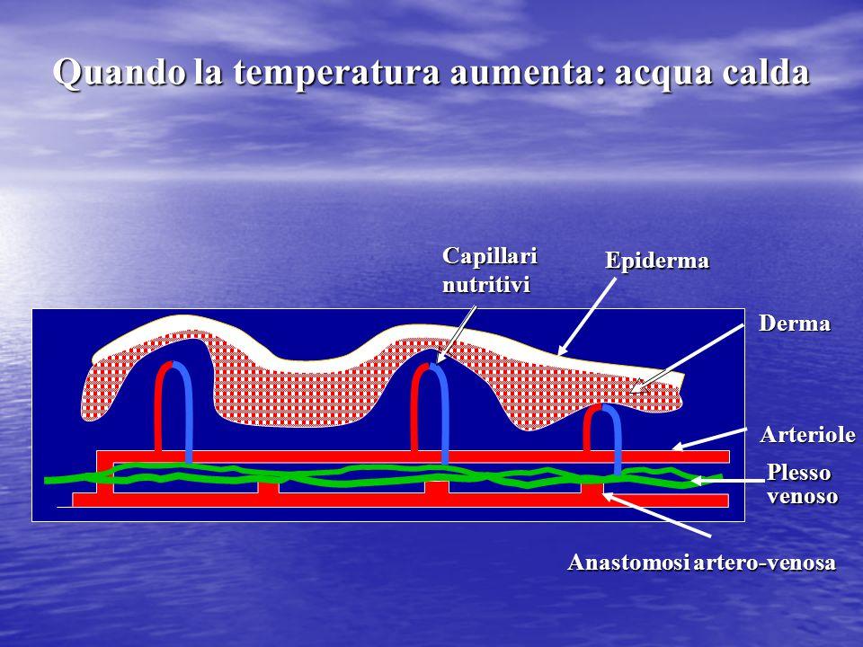 Capillari nutritivi Epiderma Arteriole Plesso venoso Derma Anastomosi artero-venosa Quando la temperatura aumenta: acqua calda