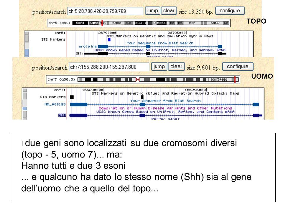 I due geni sono localizzati su due cromosomi diversi (topo - 5, uomo 7)...