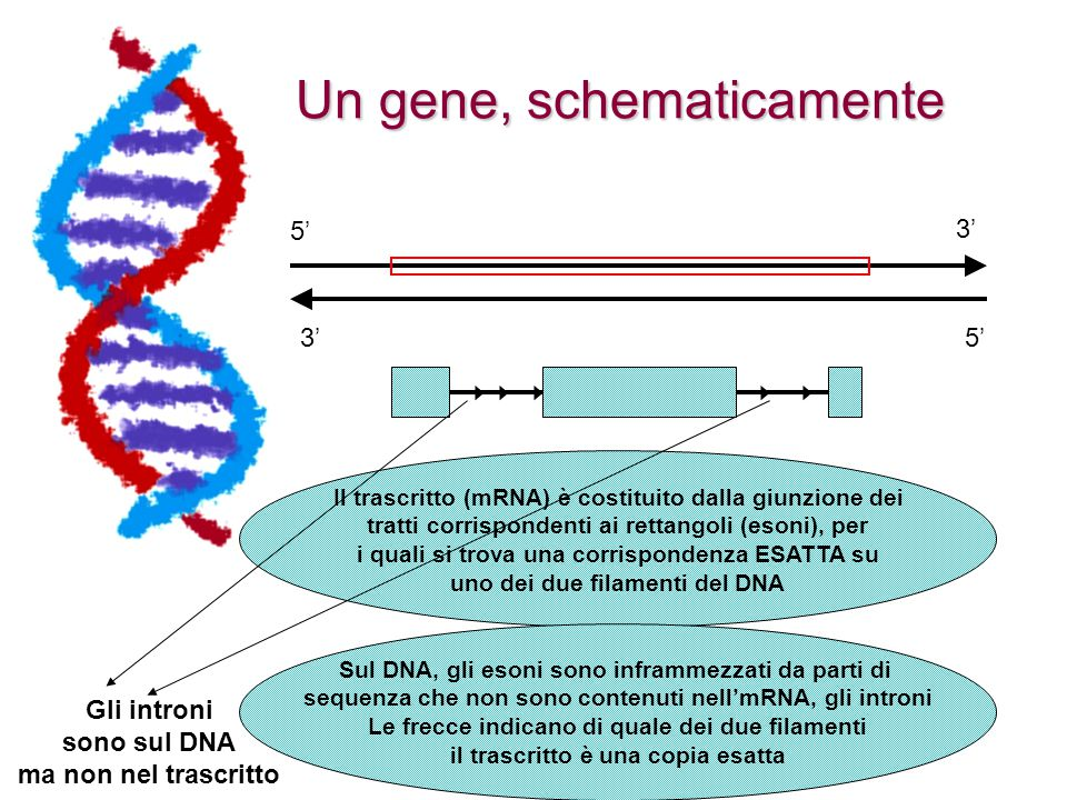 Blat E' possibile inserire nella casella di ricerca anche la sequenza di una proteina (sequenza 2 della pagina) E' possibile inserire nella casella di ricerca anche la sequenza di una proteina (sequenza 2 della pagina) L'interfaccia cercherà una regione genomica che - spezzettata in esoni ed introni - tradotta tripletta per tripletta codifica per la proteina che avete sottomesso L'interfaccia cercherà una regione genomica che - spezzettata in esoni ed introni - tradotta tripletta per tripletta codifica per la proteina che avete sottomesso