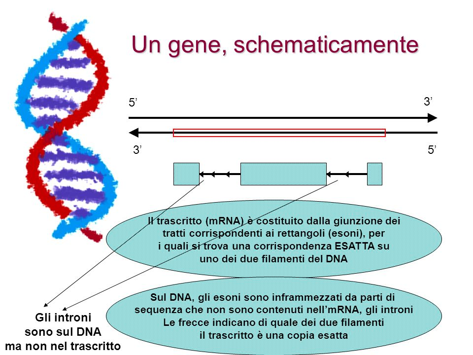 Un gene, schematicamente 5' 3' Il trascritto (mRNA) è costituito dalla giunzione dei tratti corrispondenti ai rettangoli (esoni), per i quali si trova una corrispondenza ESATTA su uno dei due filamenti del DNA Sul DNA, gli esoni sono inframmezzati da parti di sequenza che non sono contenuti nell'mRNA, gli introni Le frecce indicano di quale dei due filamenti il trascritto è una copia esatta Gli introni sono sul DNA ma non nel trascritto