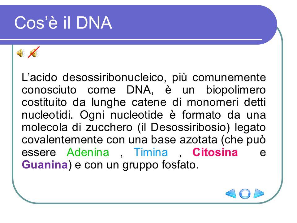 Cos'è il DNA L'acido desossiribonucleico, più comunemente conosciuto come DNA, è un biopolimero costituito da lunghe catene di monomeri detti nucleoti