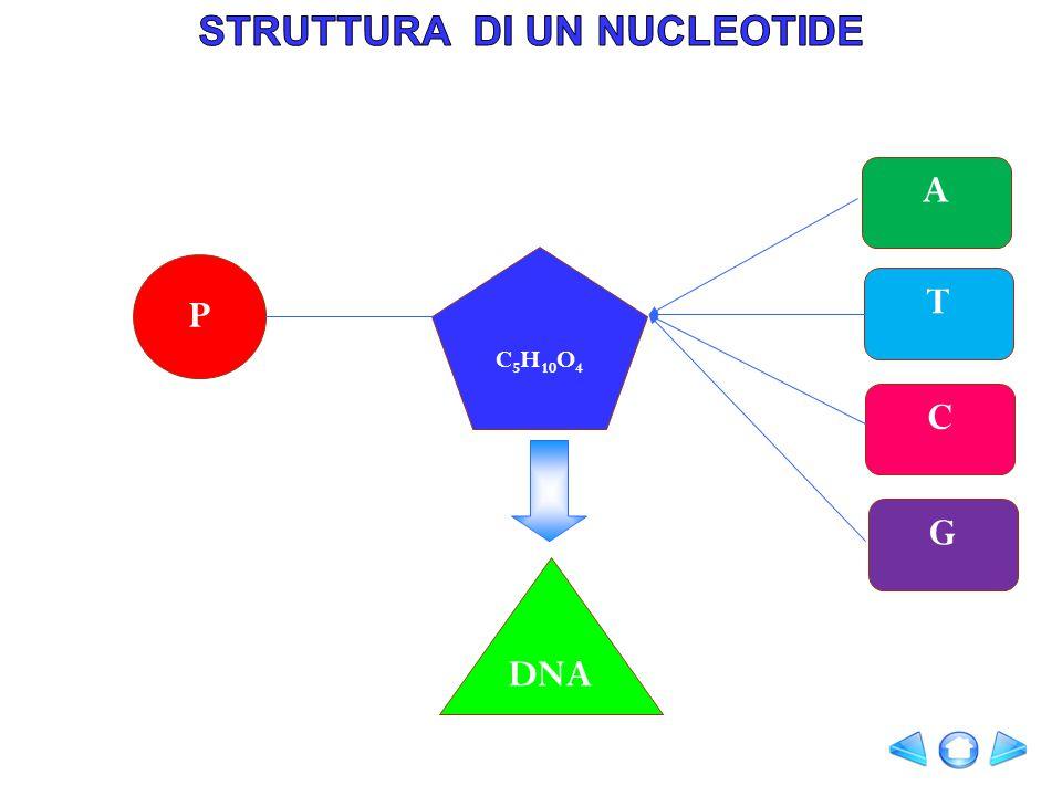 I nucleotidi si uniscono tra loro mediante il legame fosfodiesterico.