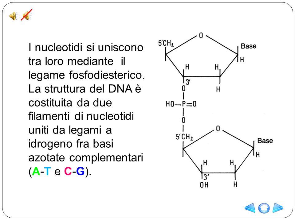 I nucleotidi si uniscono tra loro mediante il legame fosfodiesterico. La struttura del DNA è costituita da due filamenti di nucleotidi uniti da legami