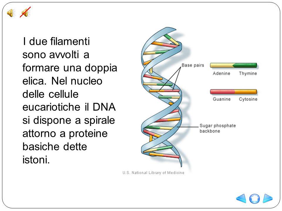 I due filamenti sono avvolti a formare una doppia elica. Nel nucleo delle cellule eucariotiche il DNA si dispone a spirale attorno a proteine basiche