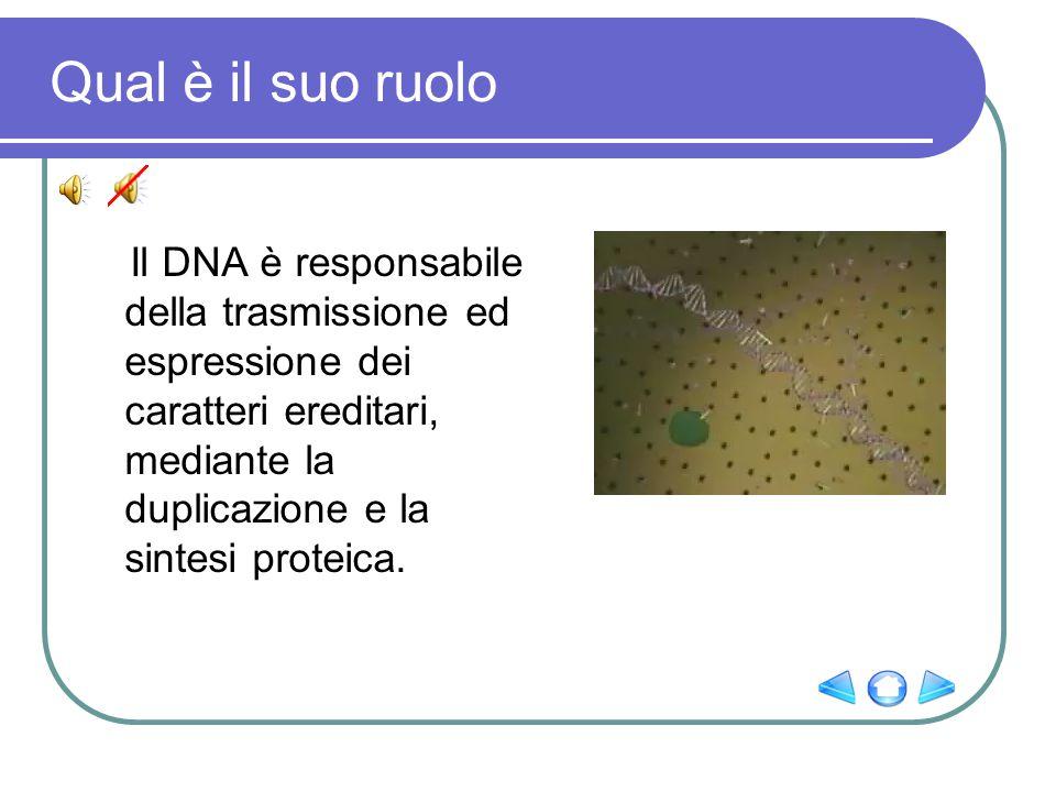Qual è il suo ruolo Il DNA è responsabile della trasmissione ed espressione dei caratteri ereditari, mediante la duplicazione e la sintesi proteica.