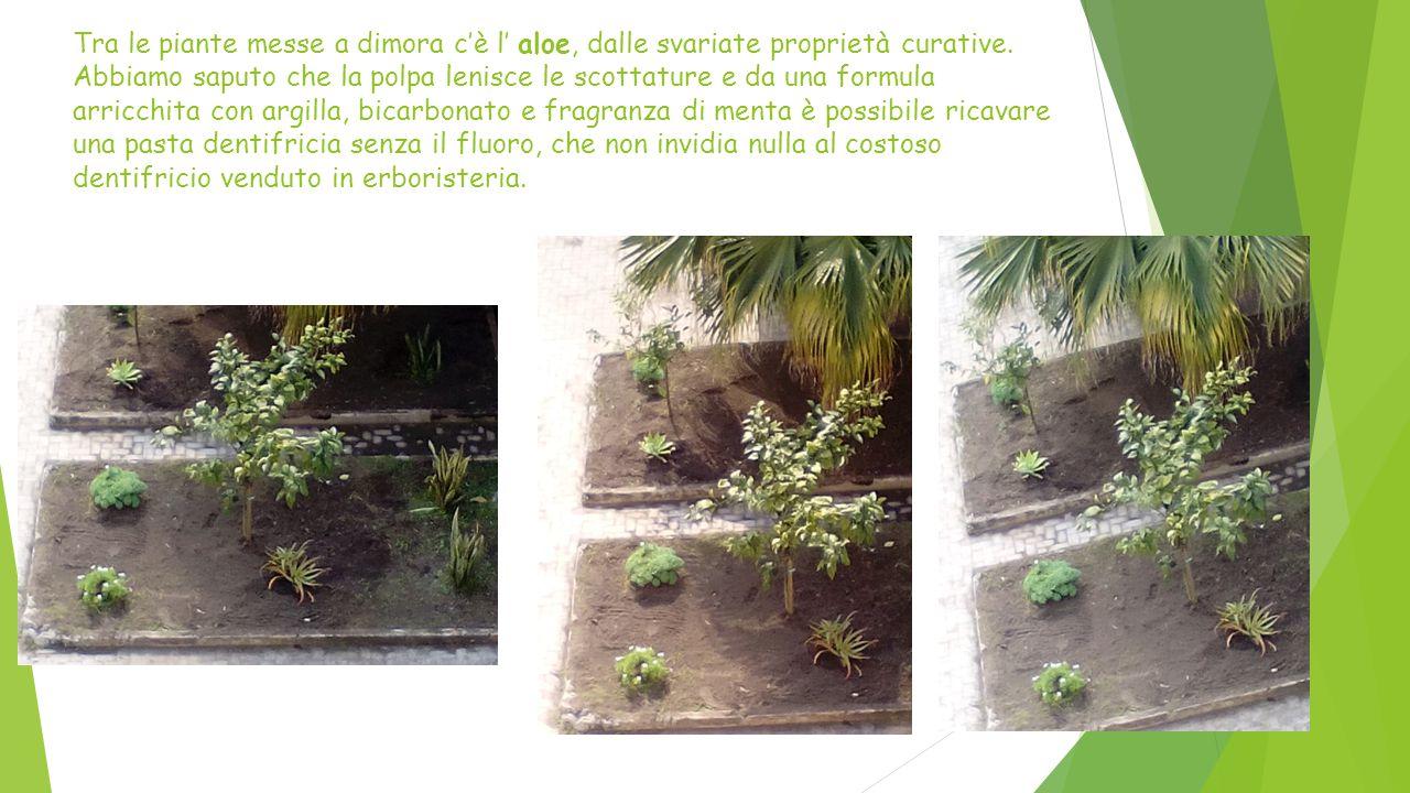 Tra le piante messe a dimora c'è l' aloe, dalle svariate proprietà curative. Abbiamo saputo che la polpa lenisce le scottature e da una formula arricc