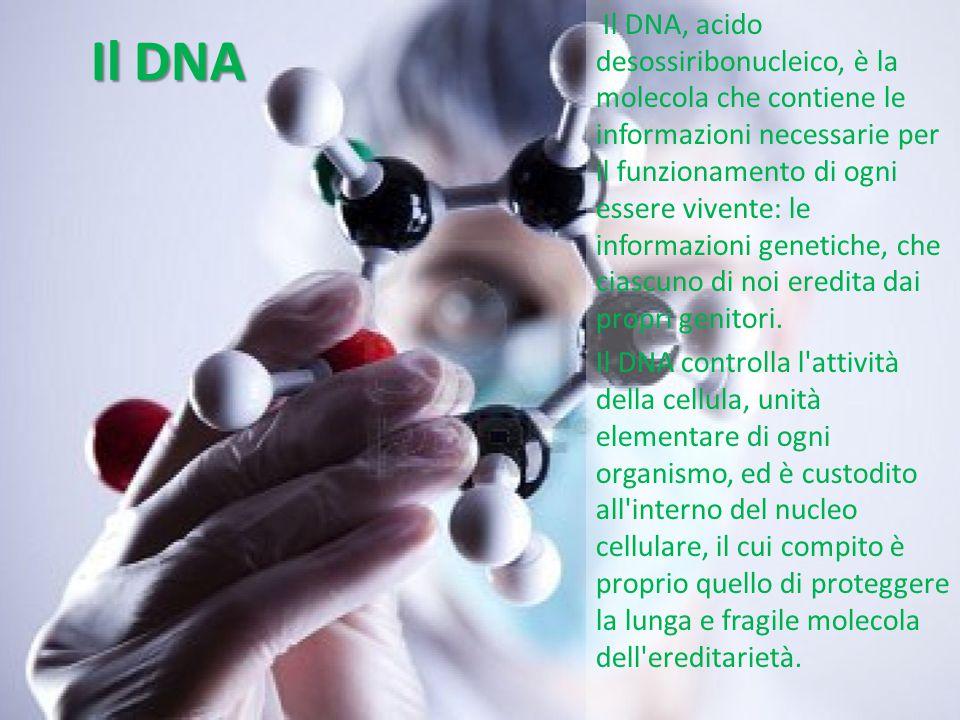 Il DNA Le cellule sono grandi circa un centesimo di millimetro, ma accolgono all interno del loro nucleo ben tre metri di materiale genetico; questo è reso possibile da un insieme di proteine, gli istoni, che si associano al DNA, consentendogli di farsi estremamente compatto.