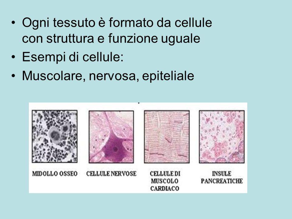 Ogni tessuto è formato da cellule con struttura e funzione uguale Esempi di cellule: Muscolare, nervosa, epiteliale