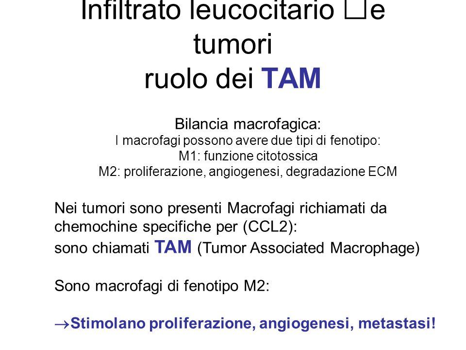 Infiltrato leucocitario e tumori ruolo dei TAM Bilancia macrofagica: I macrofagi possono avere due tipi di fenotipo: M1: funzione citotossica M2: prol