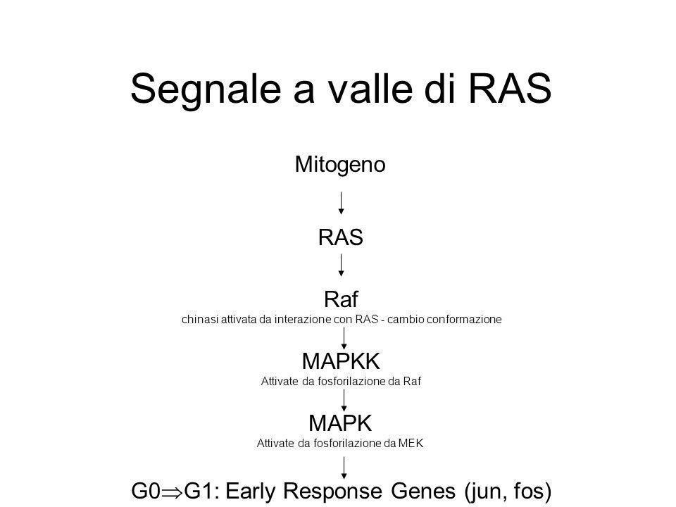 Segnale a valle di RAS RAS Mitogeno G0  G1: Early Response Genes (jun, fos) Raf chinasi attivata da interazione con RAS - cambio conformazione MAPKK