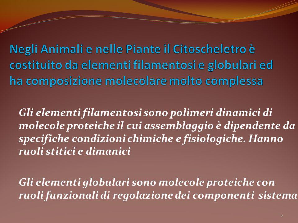 Gli elementi filamentosi sono polimeri dinamici di molecole proteiche il cui assemblaggio è dipendente da specifiche condizioni chimiche e fisiologich
