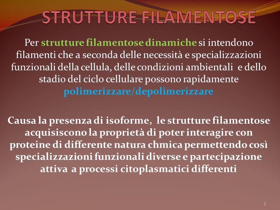 Per strutture filamentose dinamiche si intendono filamenti che a seconda delle necessità e specializzazioni funzionali della cellula, delle condizioni
