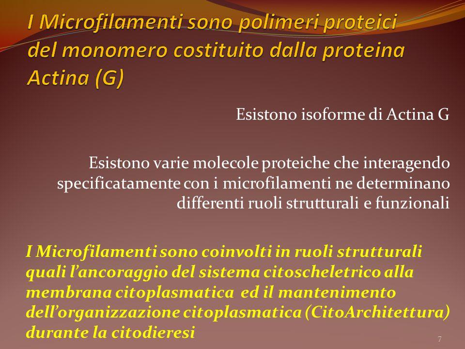 Esistono isoforme di Actina G Esistono varie molecole proteiche che interagendo specificatamente con i microfilamenti ne determinano differenti ruoli