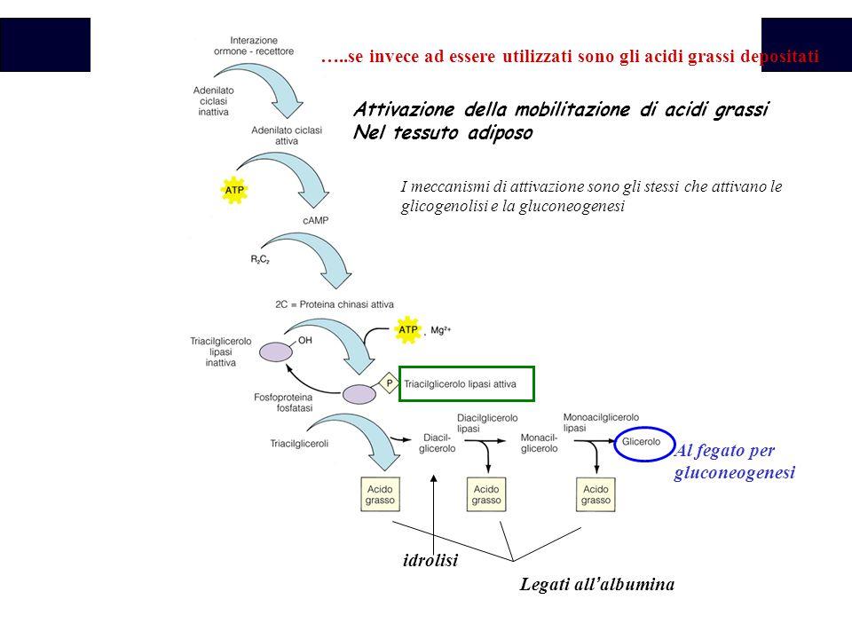 Biochimica I meccanismi di attivazione sono gli stessi che attivano le glicogenolisi e la gluconeogenesi Attivazione della mobilitazione di acidi grassi Nel tessuto adiposo idrolisi Al fegato per gluconeogenesi Legati all ' albumina …..se invece ad essere utilizzati sono gli acidi grassi depositati