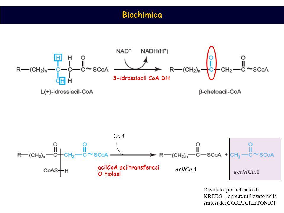 Biochimica 3-idrossiacil CoA DH acilCoA aciltransferasi O tiolasi CoA acilCoA acetilCoA Ossidato poi nel ciclo di KREBS…oppure utilizzato nella sintesi dei CORPI CHETONICI