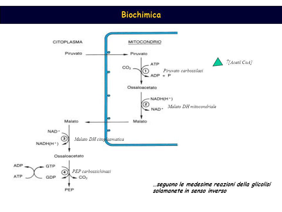 Piruvato carbossilasi Malato DH mitocondriale Malato DH citoplasmatica PEP carbossichinasi  [Acetil CoA] …seguono le medesime reazioni della glicolisi solamanete in senso inverso