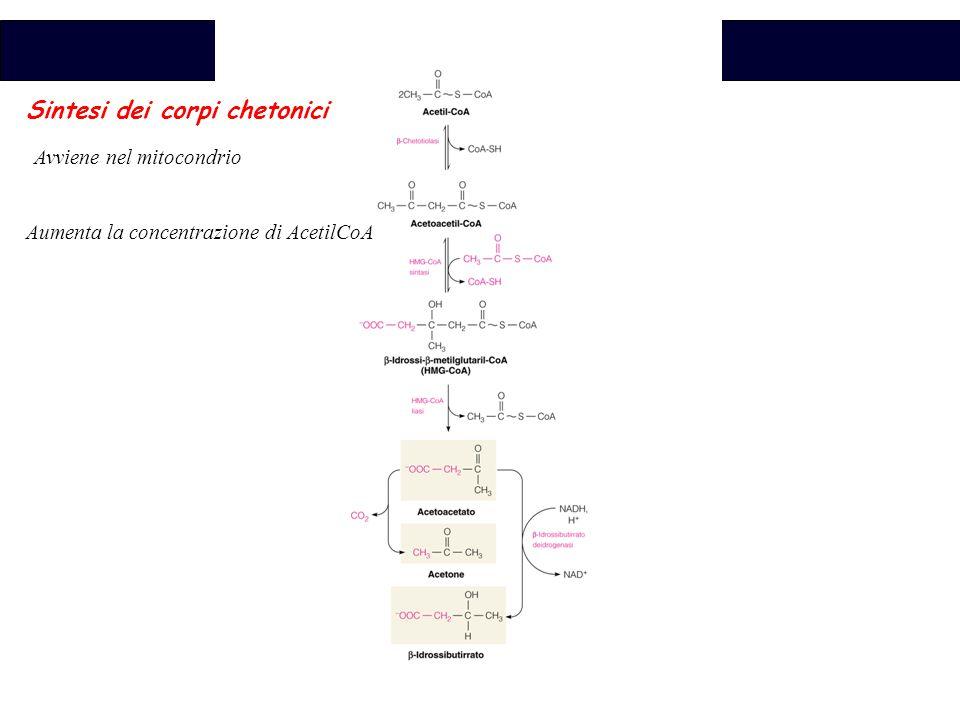 Biochimica Sintesi dei corpi chetonici Avviene nel mitocondrio Aumenta la concentrazione di AcetilCoA