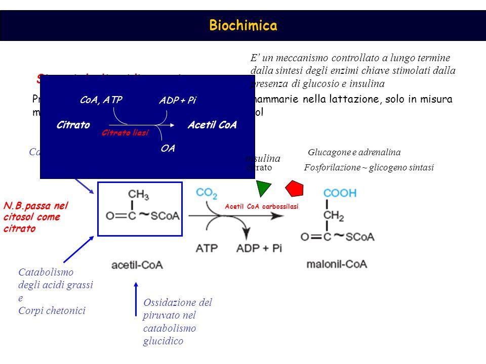 Biochimica Sintesi degli acidi grassi Principalmente nel fegato e nelle ghiandole mammarie nella lattazione, solo in misura minore nel tessuto adiposo.