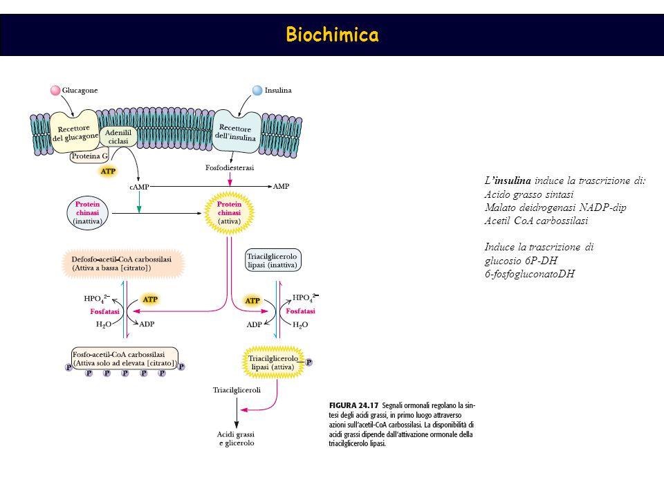L'insulina induce la trascrizione di: Acido grasso sintasi Malato deidrogenasi NADP-dip Acetil CoA carbossilasi Induce la trascrizione di glucosio 6P-DH 6-fosfogluconatoDH