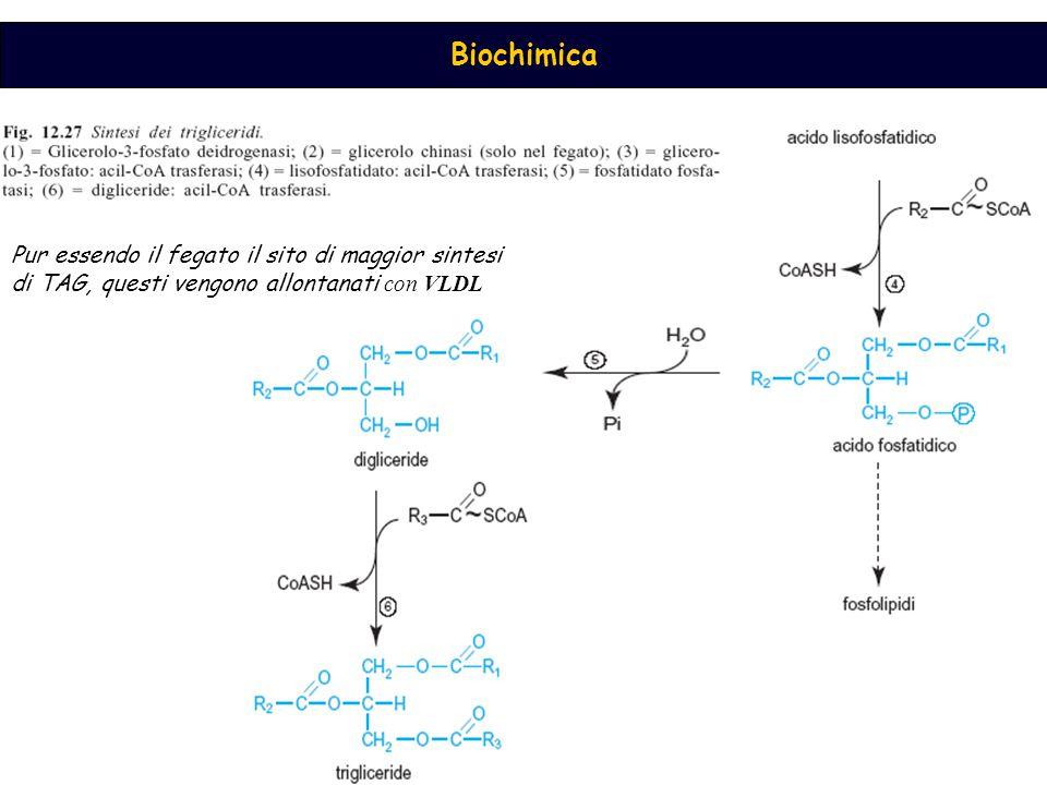 Biochimica Pur essendo il fegato il sito di maggior sintesi di TAG, questi vengono allontanati con VLDL