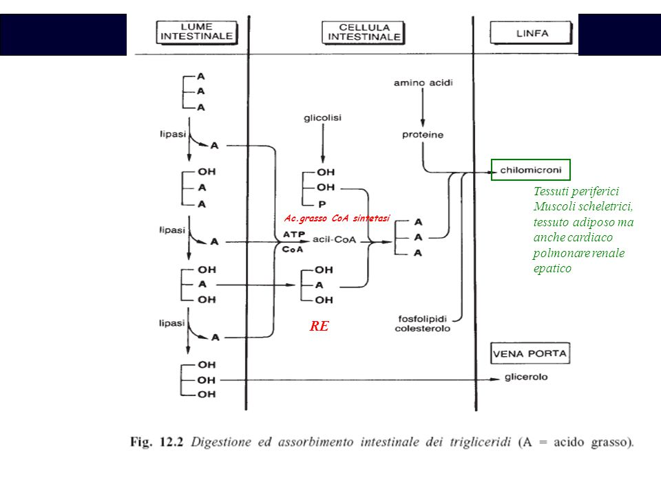 Biochimica RE Ac.grasso CoA sintetasi Tessuti periferici Muscoli scheletrici, tessuto adiposo ma anche cardiaco polmonare renale epatico