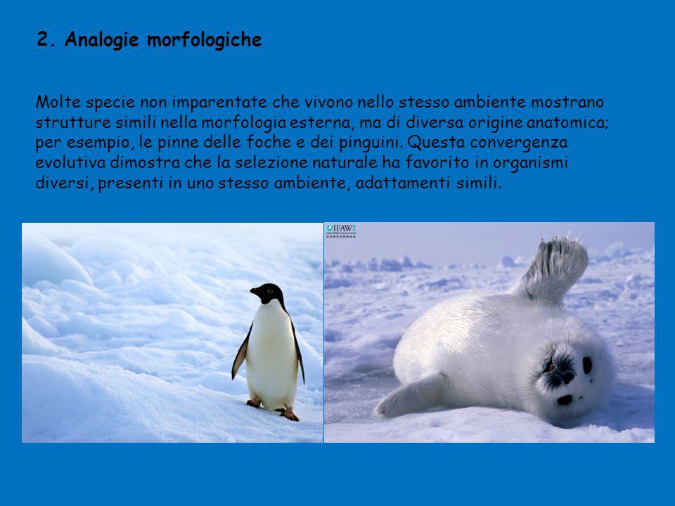 2. Analogie morfologiche Molte specie non imparentate che vivono nello stesso ambiente mostrano strutture simili nella morfologia esterna, ma di diver