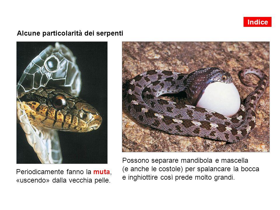 Alcune particolarità dei serpenti Periodicamente fanno la muta, «uscendo» dalla vecchia pelle. Possono separare mandibola e mascella (e anche le costo