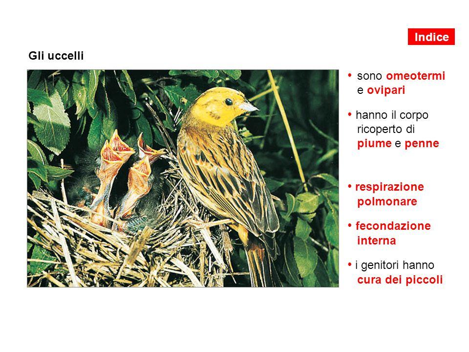 Gli uccelli sono omeotermi e ovipari hanno il corpo ricoperto di piume e penne respirazione polmonare fecondazione interna i genitori hanno cura dei p