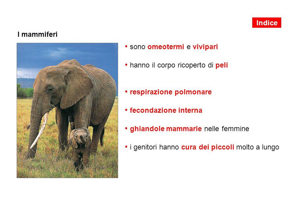 I mammiferi sono omeotermi e vivipari hanno il corpo ricoperto di peli respirazione polmonare fecondazione interna ghiandole mammarie nelle femmine i