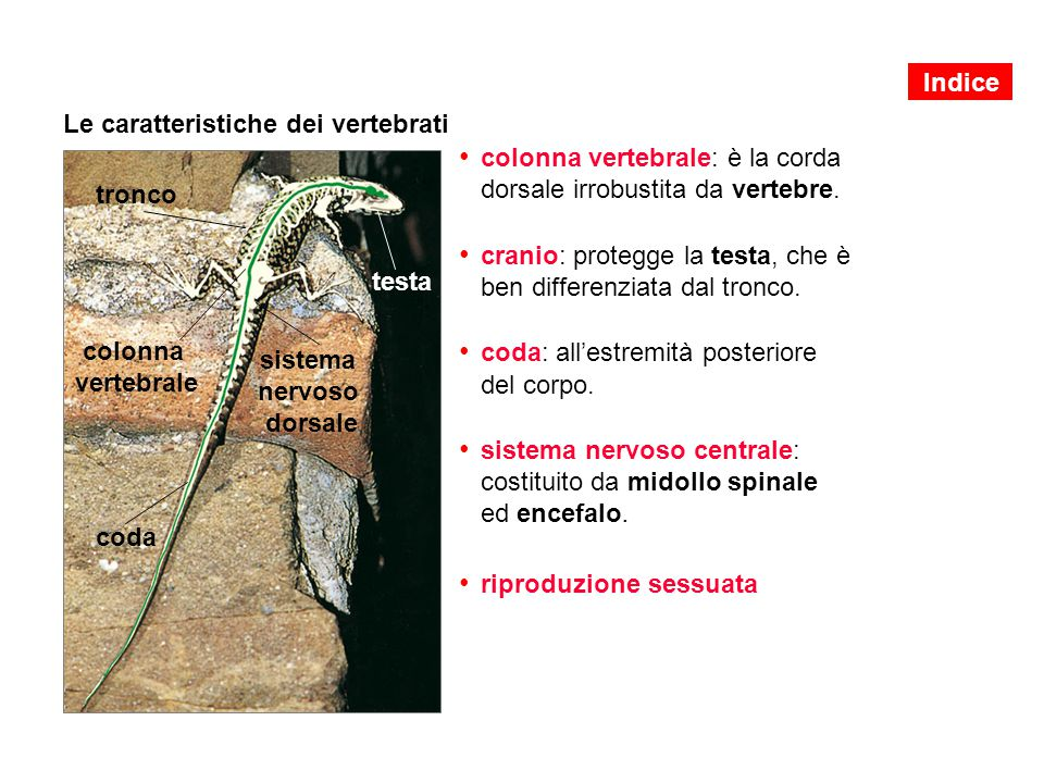 Le caratteristiche dei vertebrati colonna vertebrale: è la corda dorsale irrobustita da vertebre. cranio: protegge la testa, che è ben differenziata d