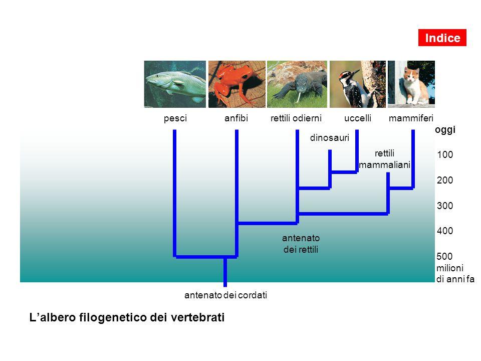L'albero filogenetico dei vertebrati antenato dei cordati oggi 100 200 300 400 500 milioni di anni fa antenato dei rettili dinosauri uccellimammiferip