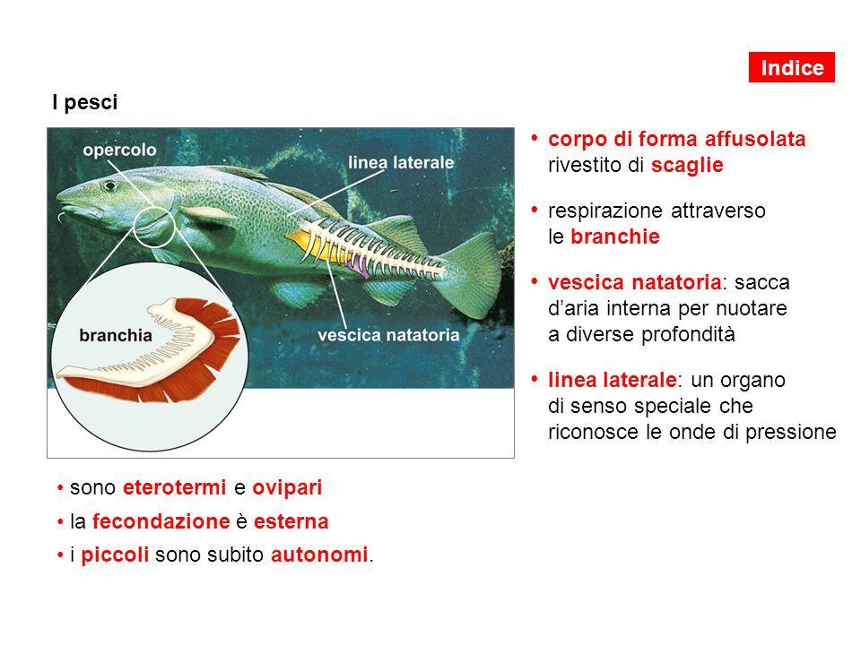 I pesci corpo di forma affusolata rivestito di scaglie respirazione attraverso le branchie vescica natatoria: sacca d'aria interna per nuotare a diver