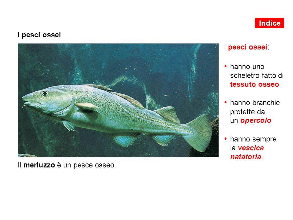 I pesci ossei I pesci ossei: hanno uno scheletro fatto di tessuto osseo hanno branchie protette da un opercolo hanno sempre la vescica natatoria. Il m