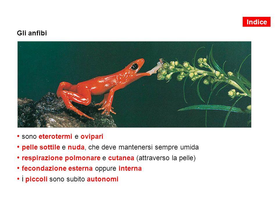 La metamorfosi degli anfibi 1.