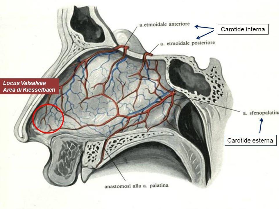 Locus Valsalvae Area di Kiesselbach Carotide interna Carotide esterna