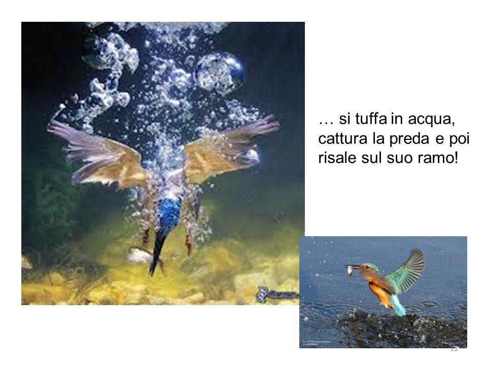 … si tuffa in acqua, cattura la preda e poi risale sul suo ramo! 11