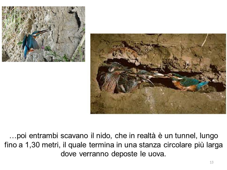 …poi entrambi scavano il nido, che in realtà è un tunnel, lungo fino a 1,30 metri, il quale termina in una stanza circolare più larga dove verranno de