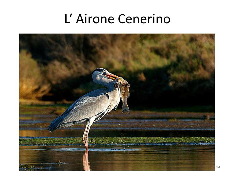 L' Airone Cenerino 14