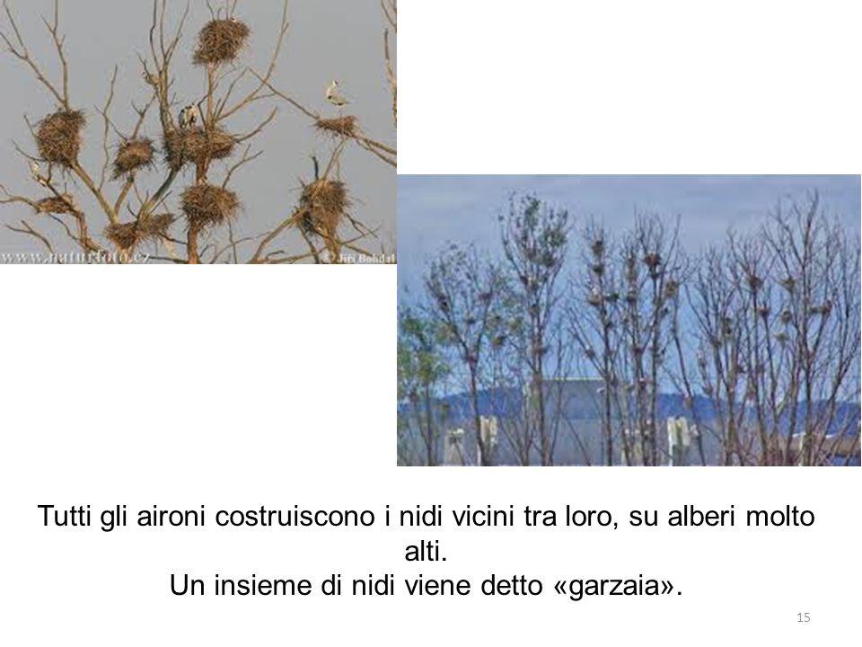 Tutti gli aironi costruiscono i nidi vicini tra loro, su alberi molto alti. Un insieme di nidi viene detto «garzaia». 15