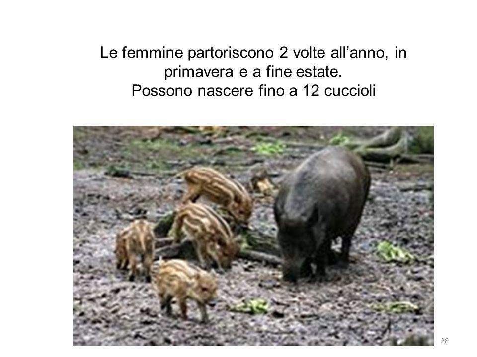 Le femmine partoriscono 2 volte all'anno, in primavera e a fine estate. Possono nascere fino a 12 cuccioli 28