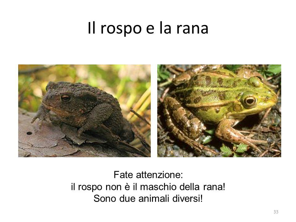 Il rospo e la rana Fate attenzione: il rospo non è il maschio della rana! Sono due animali diversi! 33