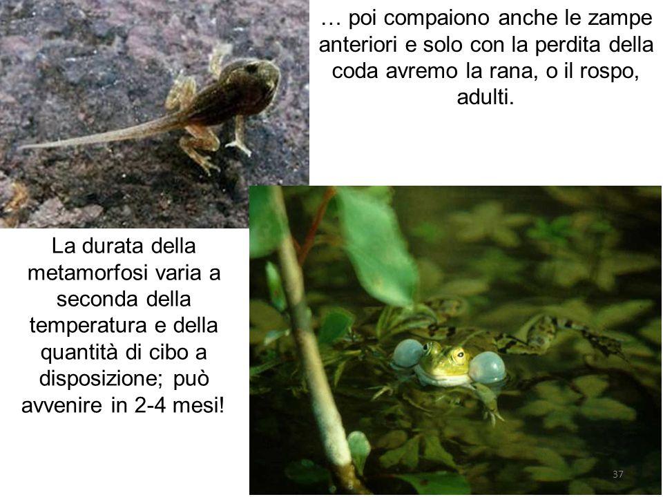 … poi compaiono anche le zampe anteriori e solo con la perdita della coda avremo la rana, o il rospo, adulti. La durata della metamorfosi varia a seco