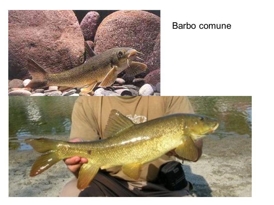 Barbo comune