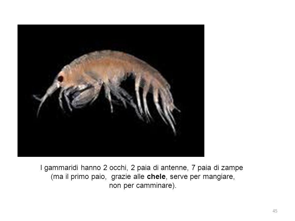 I gammaridi hanno 2 occhi, 2 paia di antenne, 7 paia di zampe (ma il primo paio, grazie alle chele, serve per mangiare, non per camminare). 45